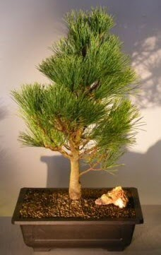 Çam ağacı japon ağacı bitkisi bonsai  Bilecik çiçekçi çiçekçi telefonları