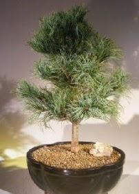 Çam ağacı bonsai bitkisi satışı  Bilecik çiçekçi ucuz çiçek gönder