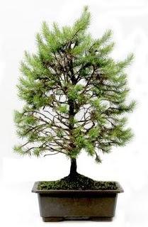 *** STOKTA YOK - Çam ağacı bonsai bitkisi satışı  Bilecik çiçekçi cicekciler , cicek siparisi