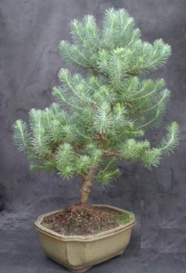 Bonsai çam ağacı japon ağacı bitkisi  Bilecik çiçekçi çiçek gönderme sitemiz güvenlidir