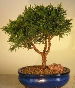 Servi çam bonsai japon ağacı bitkisi  Bilecik çiçekçi çiçek yolla
