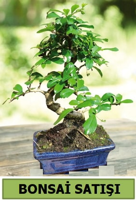 Çam bonsai japon ağacı satışı  Bilecik çiçekçi çiçek satışı