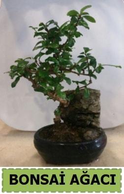 Bonsai ağacı japon ağacı satışı  Bilecik çiçekçi hediye çiçek yolla