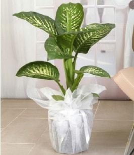 Tropik saksı çiçeği bitkisi  Bilecik çiçekçi çiçek satışı