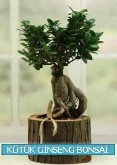 Kütük ağaç içerisinde ginseng bonsai  Bilecik çiçekçi çiçek gönderme sitemiz güvenlidir