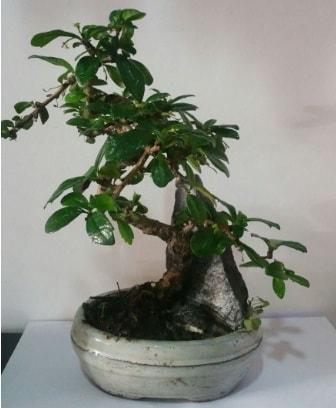 S şeklinde ithal bonsai ağacı  Bilecik çiçekçi çiçek yolla