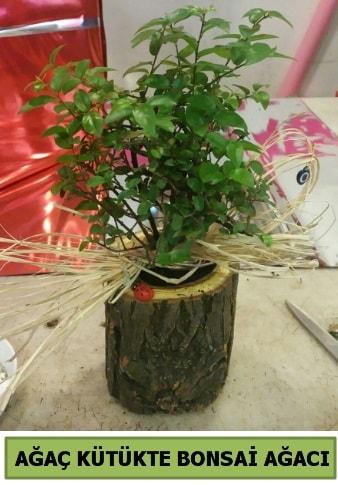 Doğal ağaç kütük içerisinde bonsai ağacı  Bilecik çiçekçi çiçek gönderme sitemiz güvenlidir