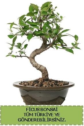 Ficus bonsai  Bilecik çiçekçi çiçek gönderme sitemiz güvenlidir