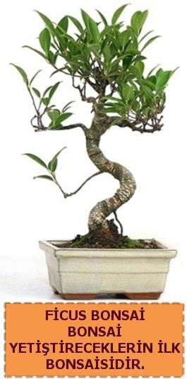 Ficus bonsai 15 ile 25 cm arasındadır  Bilecik çiçekçi çiçek yolla