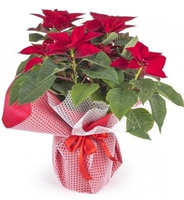 Atatürk çiçeği saksı bitkisi  Bilecik çiçekçi çiçek gönderme sitemiz güvenlidir