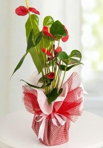 Anthurium Saksı Çiçeği  Bilecik çiçekçi hediye çiçek yolla