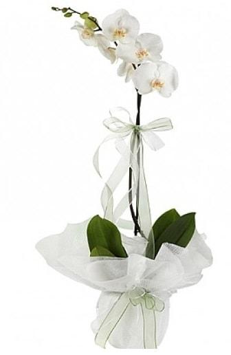 Tekli Beyaz Orkide  Bilecik çiçekçi hediye çiçek yolla