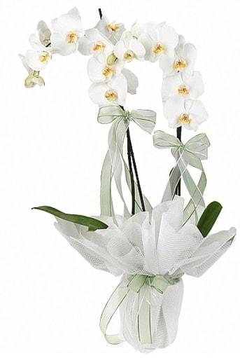 Çift Dallı Beyaz Orkide  Bilecik çiçekçi anneler günü çiçek yolla