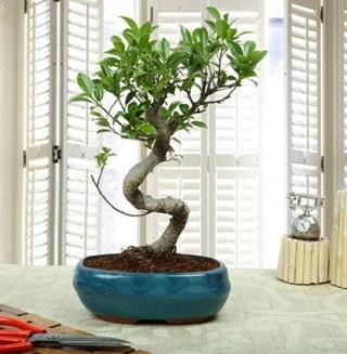 Amazing Bonsai Ficus S İthal  Bilecik çiçekçi internetten çiçek siparişi