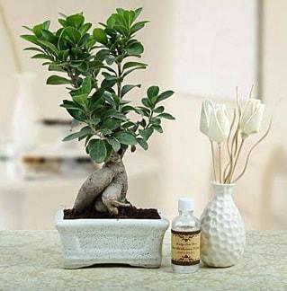 Ginseng ficus bonsai  Bilecik çiçekçi çiçekçiler