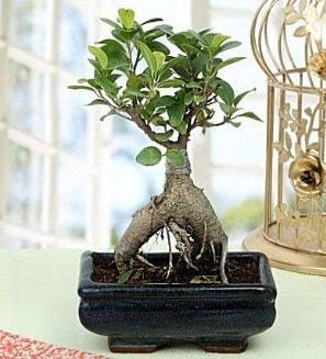 Appealing Ficus Ginseng Bonsai  Bilecik çiçekçi anneler günü çiçek yolla