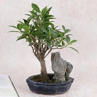 Japon ağacı Evergreen Ficus Bonsai  Bilecik çiçekçi çiçek gönderme sitemiz güvenlidir