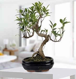 Gorgeous Ficus S shaped japon bonsai  Bilecik çiçekçi yurtiçi ve yurtdışı çiçek siparişi