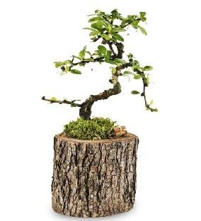 Doğal kütükte S bonsai ağacı  Bilecik çiçekçi çiçek satışı