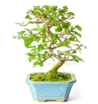 S zerkova bonsai kısa süreliğine  Bilecik çiçekçi İnternetten çiçek siparişi