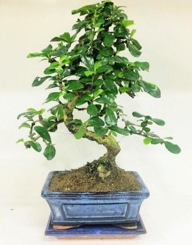 S Bonsai japon ağacı bitkisi  Bilecik çiçekçi uluslararası çiçek gönderme