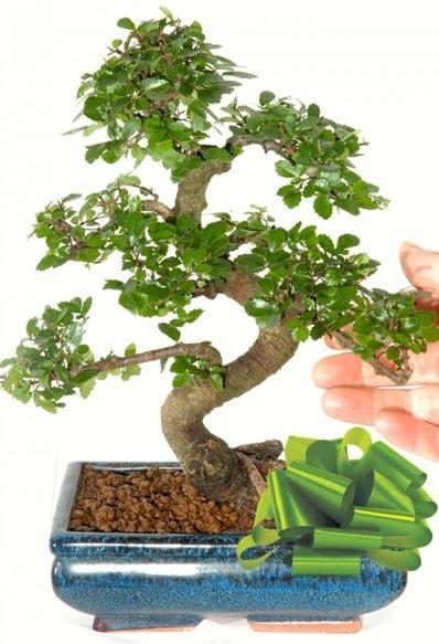 Yaklaşık 25 cm boyutlarında S bonsai  Bilecik çiçekçi çiçek siparişi sitesi
