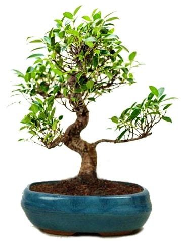 25 cm ile 30 cm aralığında Ficus S bonsai  Bilecik çiçekçi çiçek gönderme sitemiz güvenlidir