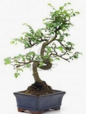 S gövde bonsai minyatür ağaç japon ağacı  Bilecik çiçekçi çiçek satışı