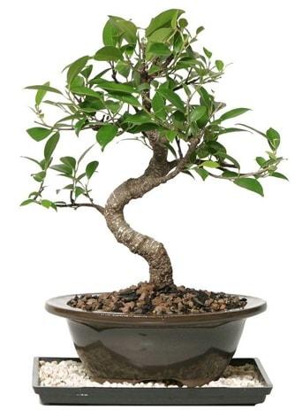 Altın kalite Ficus S bonsai  Bilecik çiçekçi çiçekçi telefonları  Süper Kalite