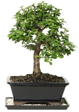 15 cm civarı Zerkova bonsai bitkisi  Bilecik çiçekçi çiçek siparişi sitesi