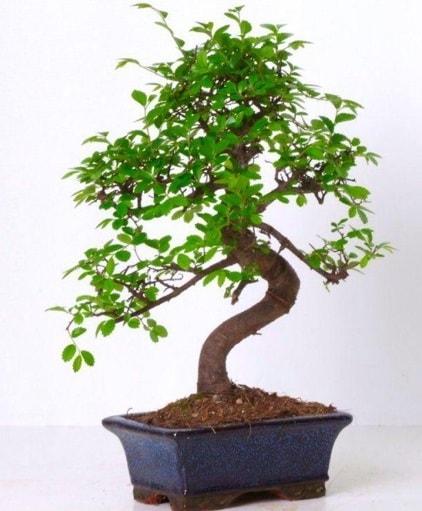 S gövdeli bonsai minyatür ağaç japon ağacı  Bilecik çiçekçi çiçek gönderme sitemiz güvenlidir