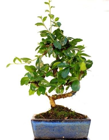 Bonsai Minyatür Ağaç Bonzai S Gövde  Bilecik çiçekçi internetten çiçek satışı