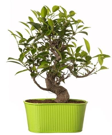 Ficus S gövdeli muhteşem bonsai  Bilecik çiçekçi çiçek siparişi sitesi