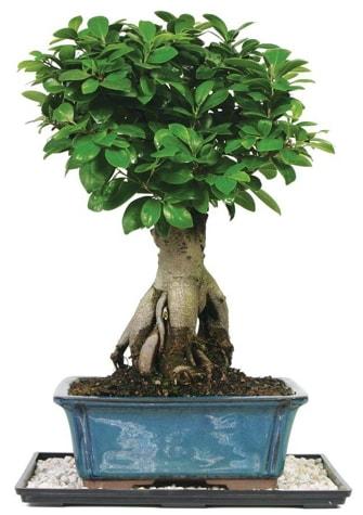Bonsai Ginsing Grafted Ficus Bonsai  Bilecik çiçekçi çiçek yolla