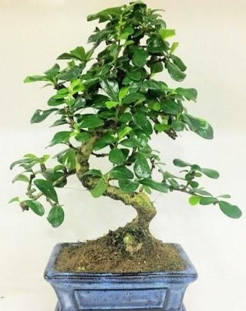 Zelkova S gövdeli Minyatür ağaç Bonzai  Bilecik çiçekçi çiçek gönderme