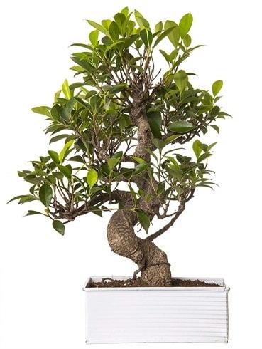 Exotic Green S Gövde 6 Year Ficus Bonsai  Bilecik çiçekçi çiçek gönderme sitemiz güvenlidir