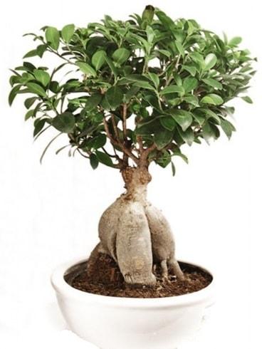 Ginseng bonsai japon ağacı ficus ginseng  Bilecik çiçekçi İnternetten çiçek siparişi